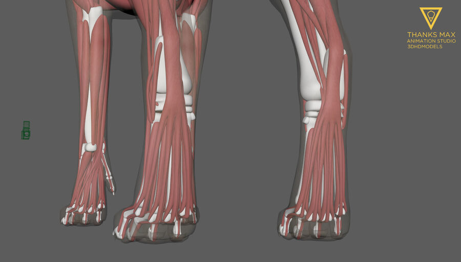 Chien Anatomie Canine royalty-free 3d model - Preview no. 6