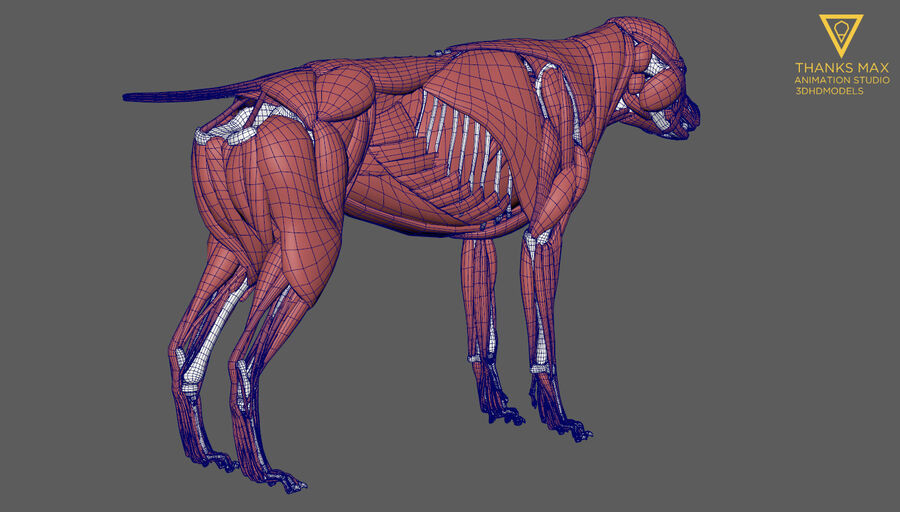 Chien Anatomie Canine royalty-free 3d model - Preview no. 40