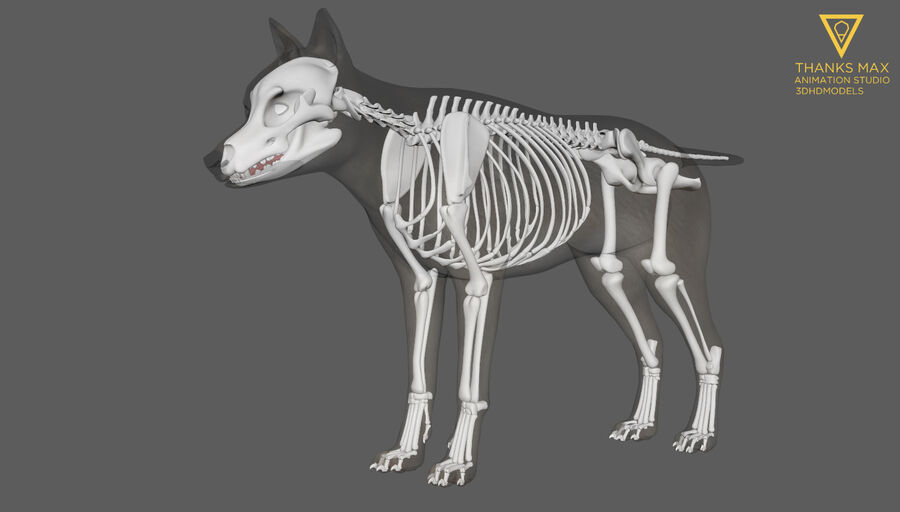 Chien Anatomie Canine royalty-free 3d model - Preview no. 14