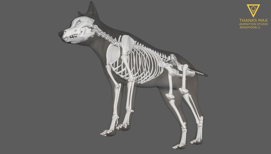 Chien Anatomie Canine royalty-free 3d model - Preview no. 36