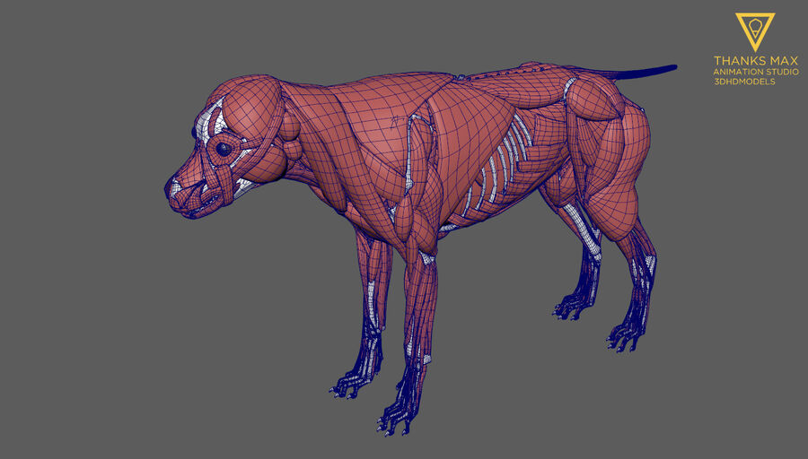 Chien Anatomie Canine royalty-free 3d model - Preview no. 45