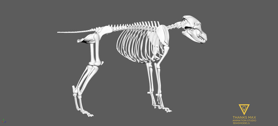 Chien Anatomie Canine royalty-free 3d model - Preview no. 92