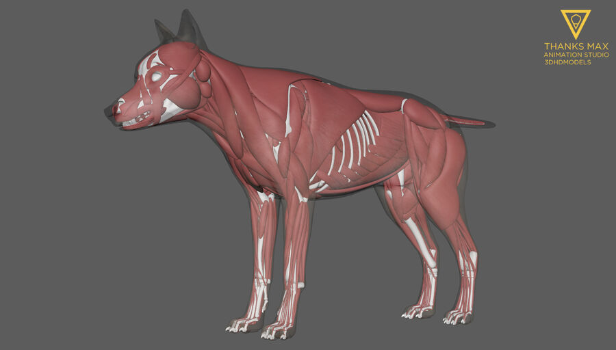 Chien Anatomie Canine royalty-free 3d model - Preview no. 2