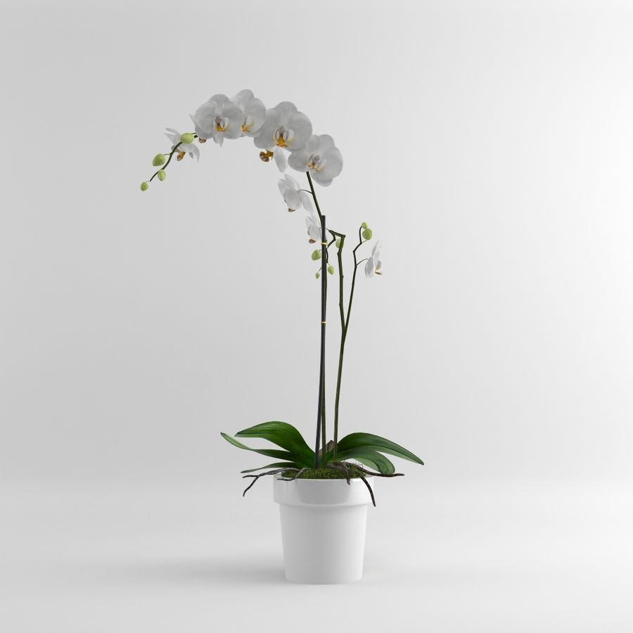 Orchid Moth white royalty-free 3d model - Preview no. 3