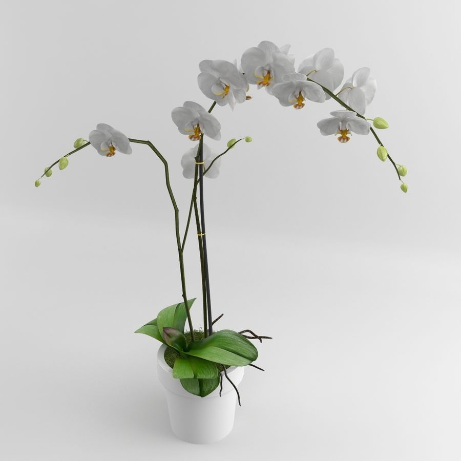 Orchid Moth white royalty-free 3d model - Preview no. 5
