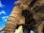 Слон (африканский) 3d model
