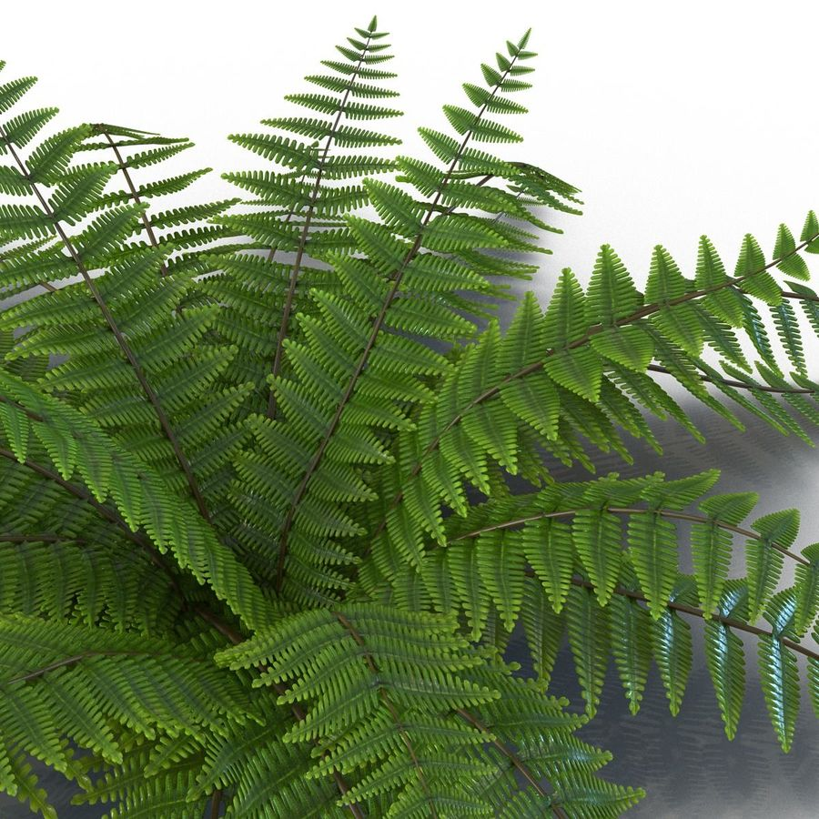 Fern royalty-free 3d model - Preview no. 6