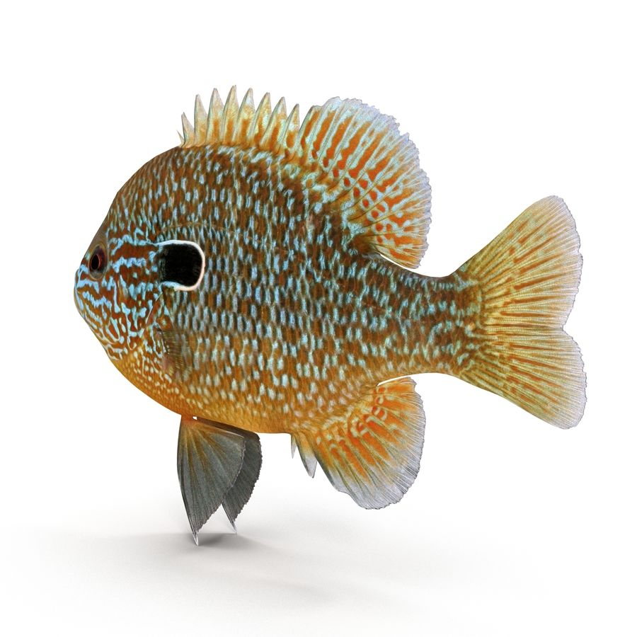 Longear Sunfish royalty-free 3d model - Preview no. 3