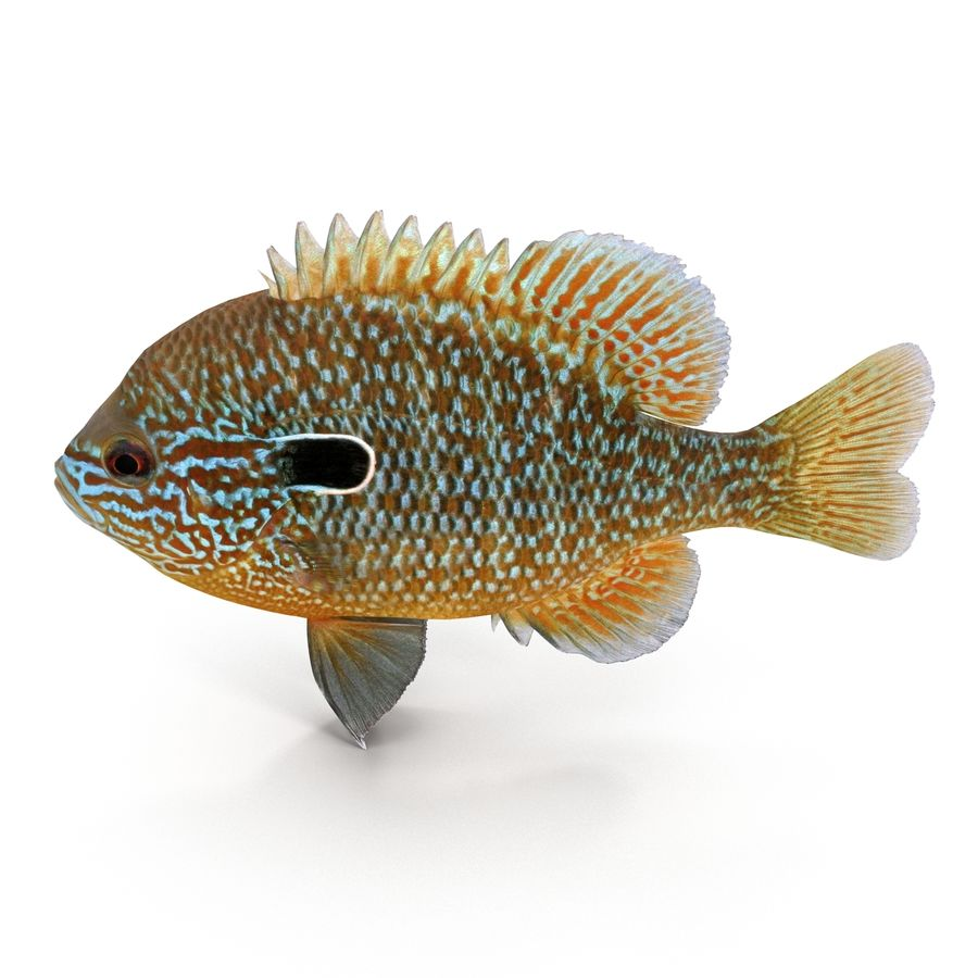 Longear Sunfish royalty-free 3d model - Preview no. 7