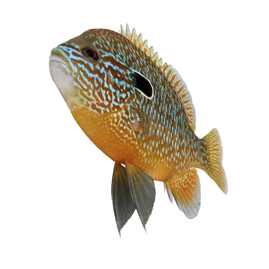 Longear Sunfish royalty-free 3d model - Preview no. 5