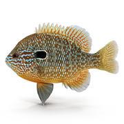 Longear Sunfish 3d model