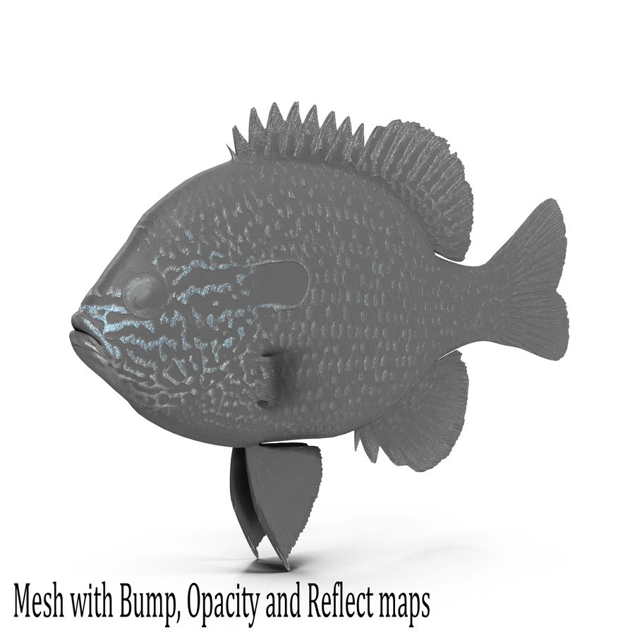 Longear Sunfish royalty-free 3d model - Preview no. 10