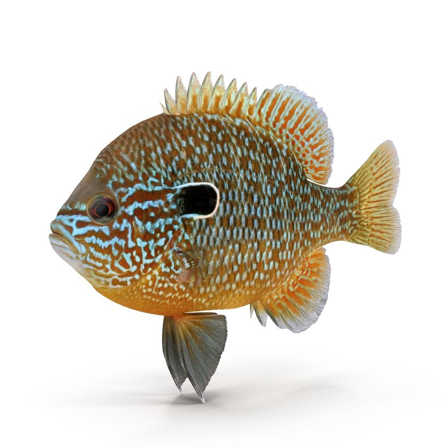 Longear Sunfish royalty-free 3d model - Preview no. 2