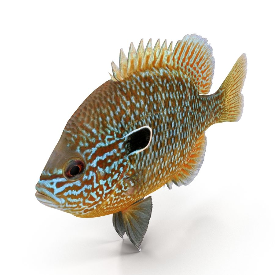 Longear Sunfish royalty-free 3d model - Preview no. 4