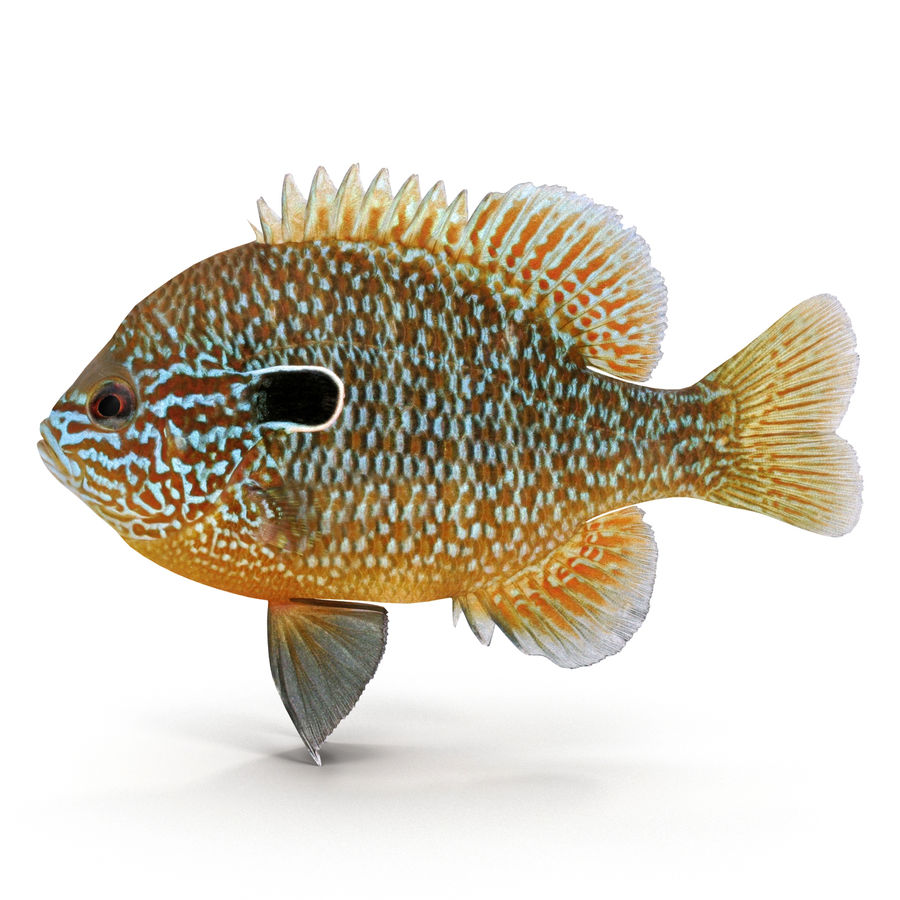 Longear Sunfish royalty-free 3d model - Preview no. 1