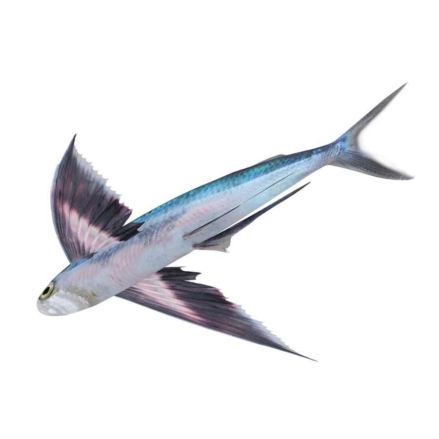 Fliegender Fisch royalty-free 3d model - Preview no. 8