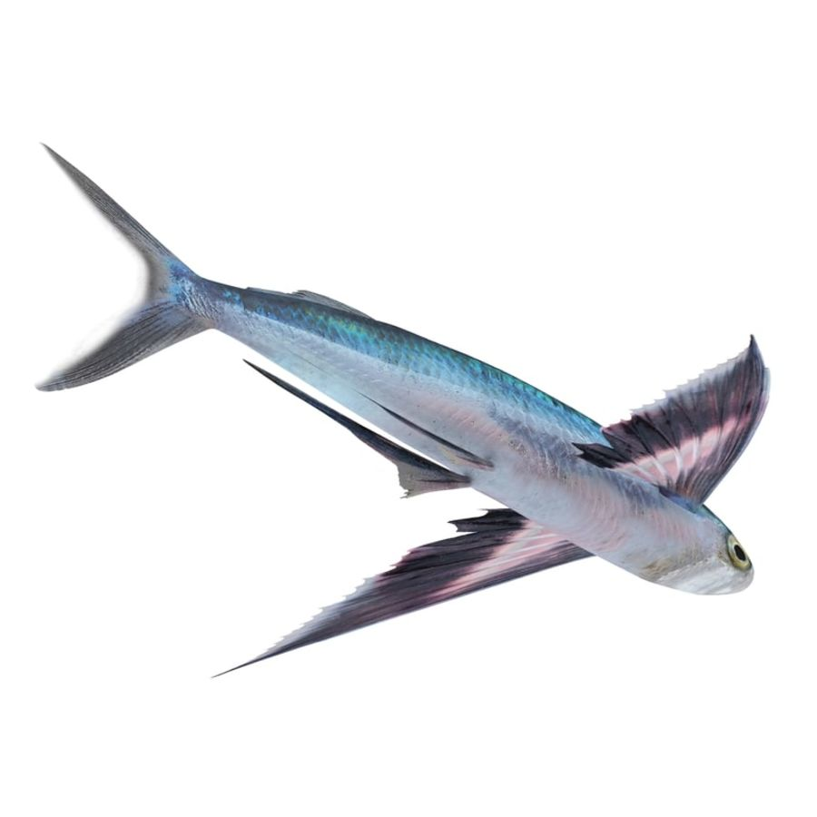 Flying Fish royalty-free 3d model - Preview no. 9