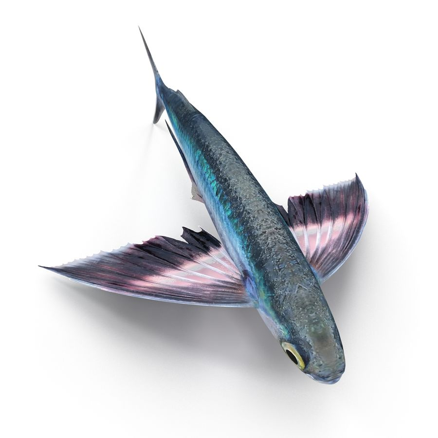 Fliegender Fisch royalty-free 3d model - Preview no. 5