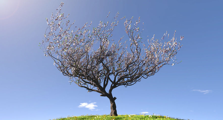 Apricot Blossoms royalty-free 3d model - Preview no. 3