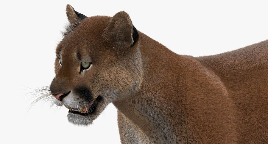 Cougar (Fur) royalty-free 3d model - Preview no. 14