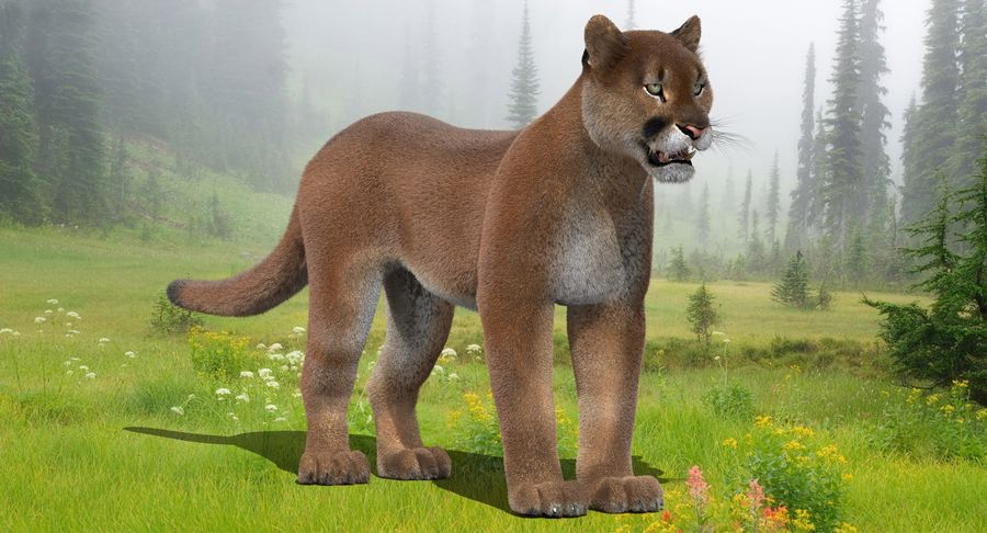 Cougar (Fur) royalty-free 3d model - Preview no. 3
