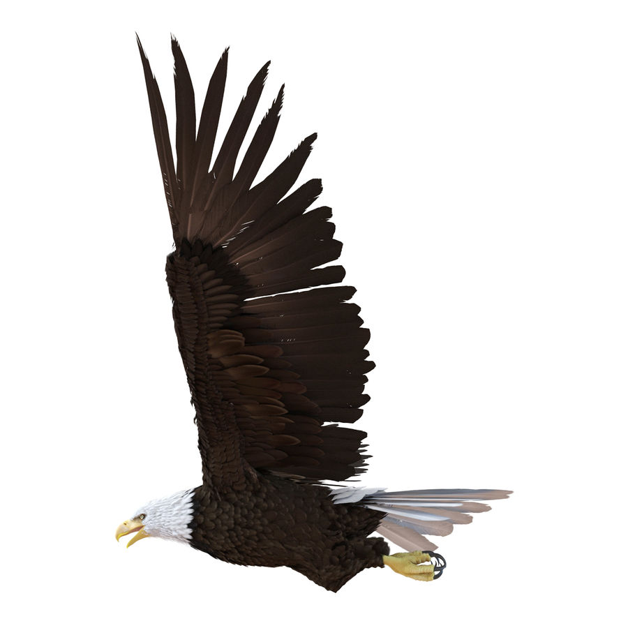 Bald Eagle Pose 4 royalty-free 3d model - Preview no. 7