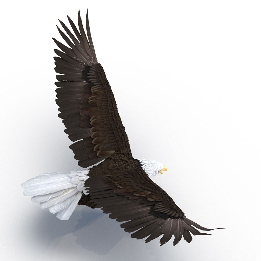 Bald Eagle Pose 4 royalty-free 3d model - Preview no. 6