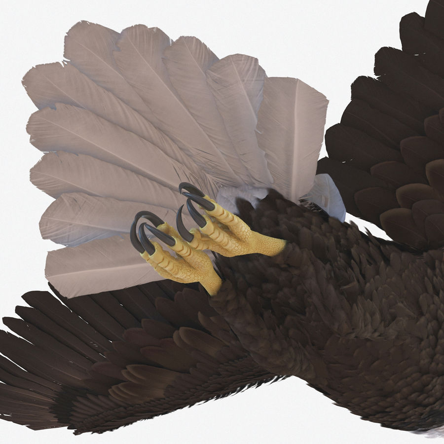 Bald Eagle Pose 4 royalty-free 3d model - Preview no. 12