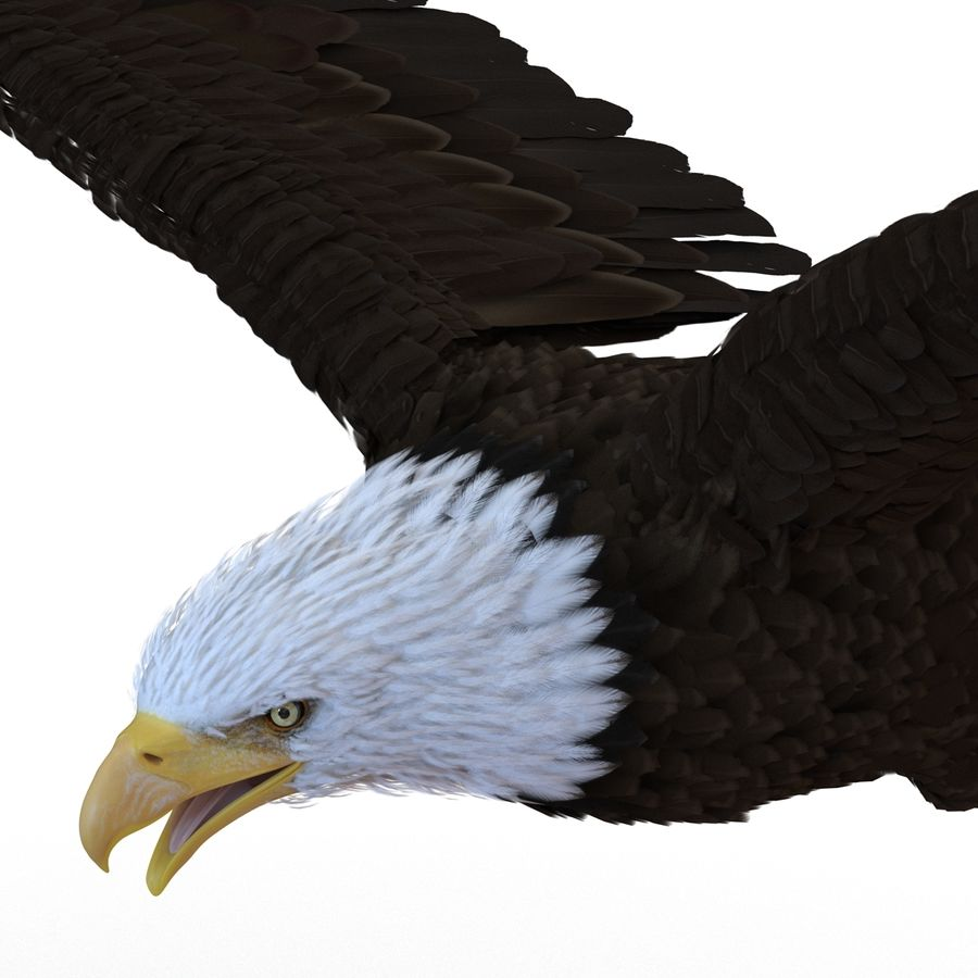 Bald Eagle Pose 4 royalty-free 3d model - Preview no. 15