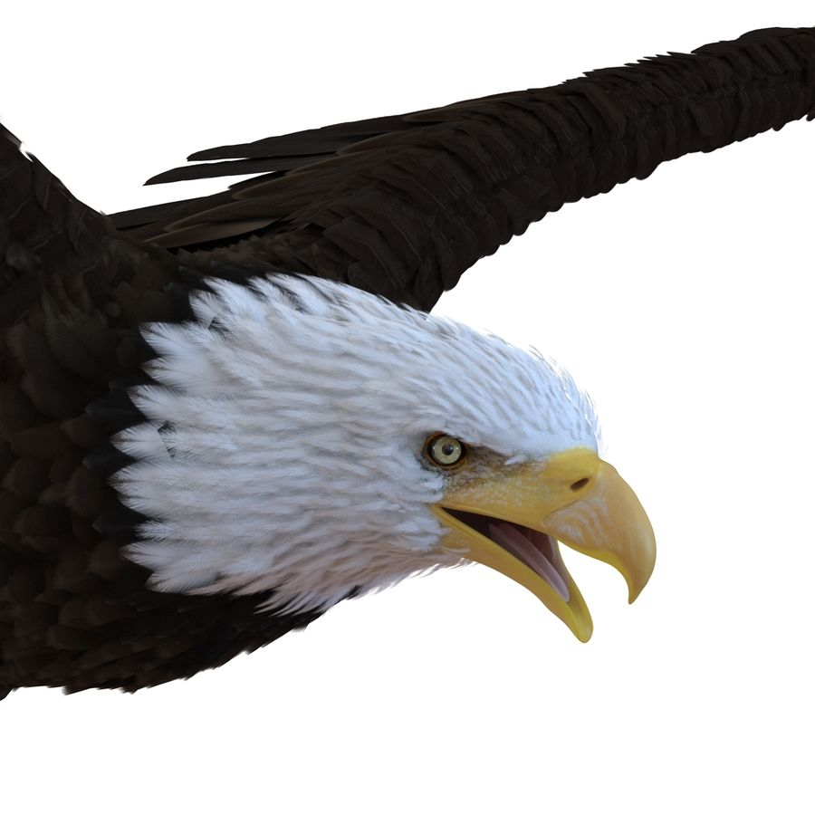 Bald Eagle Pose 4 royalty-free 3d model - Preview no. 14