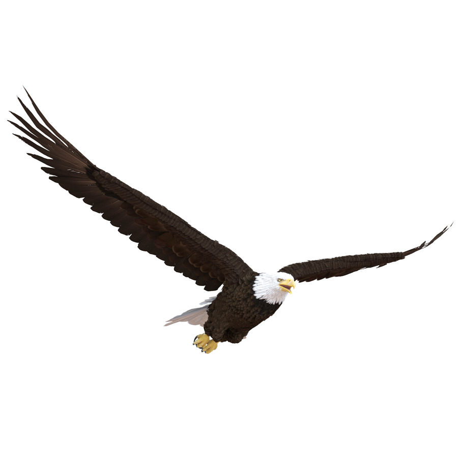 Bald Eagle Pose 4 royalty-free 3d model - Preview no. 8