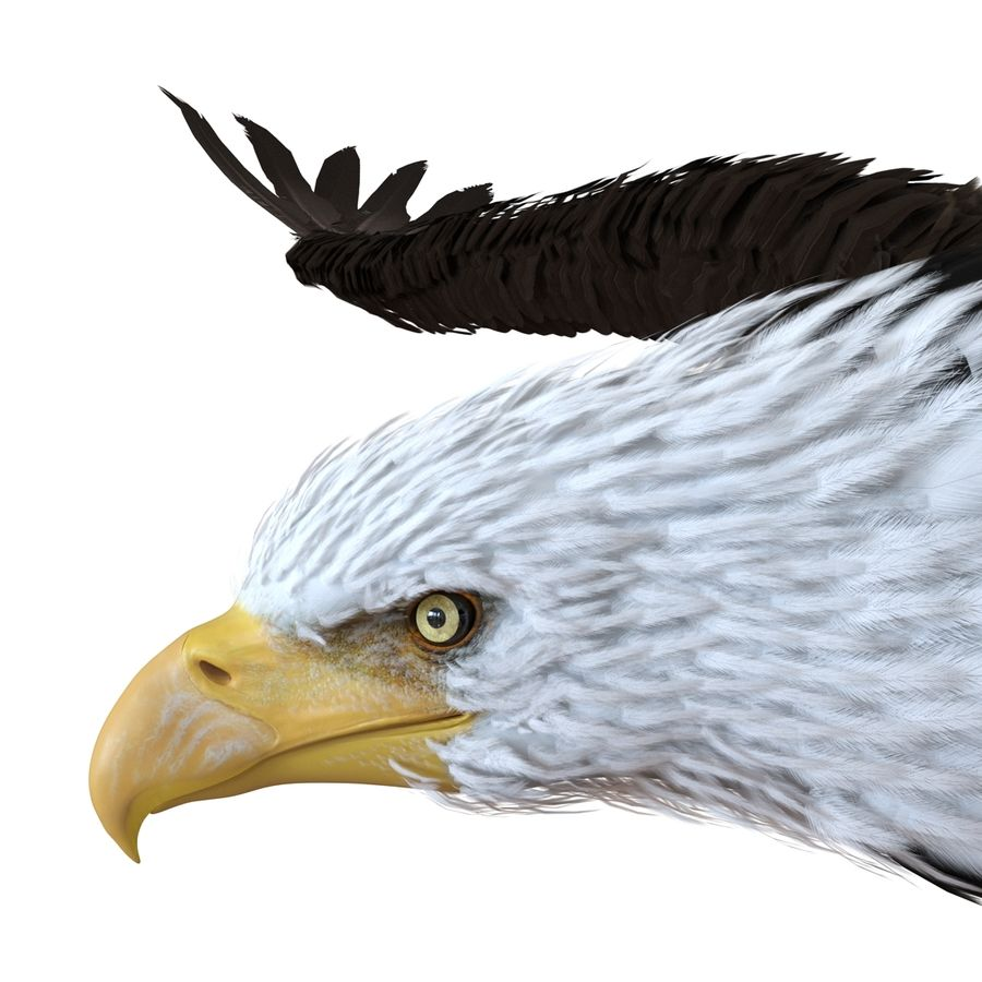 Bald Eagle Pose 3 royalty-free 3d model - Preview no. 12