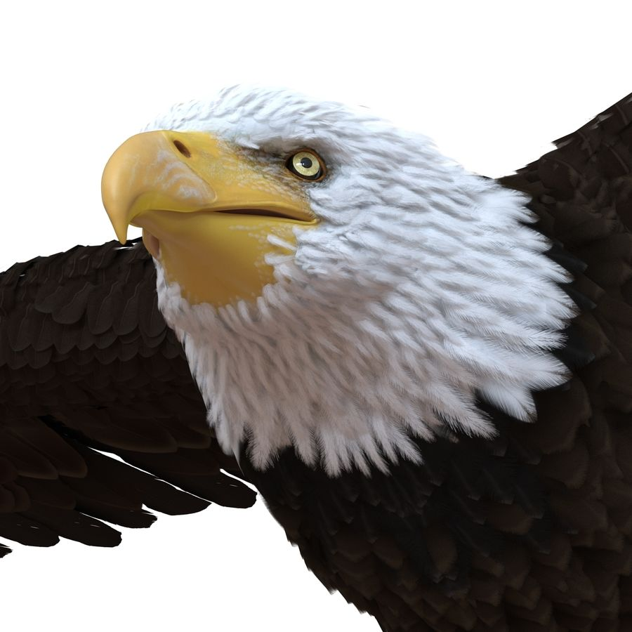 Bald Eagle Pose 3 royalty-free 3d model - Preview no. 11