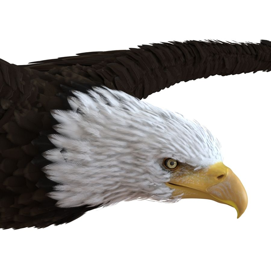 Bald Eagle Pose 3 royalty-free 3d model - Preview no. 10