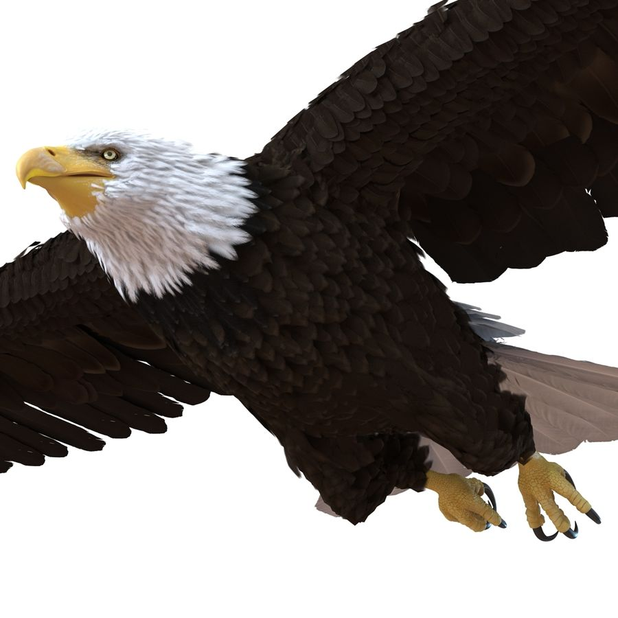 Bald Eagle Pose 3 royalty-free 3d model - Preview no. 9