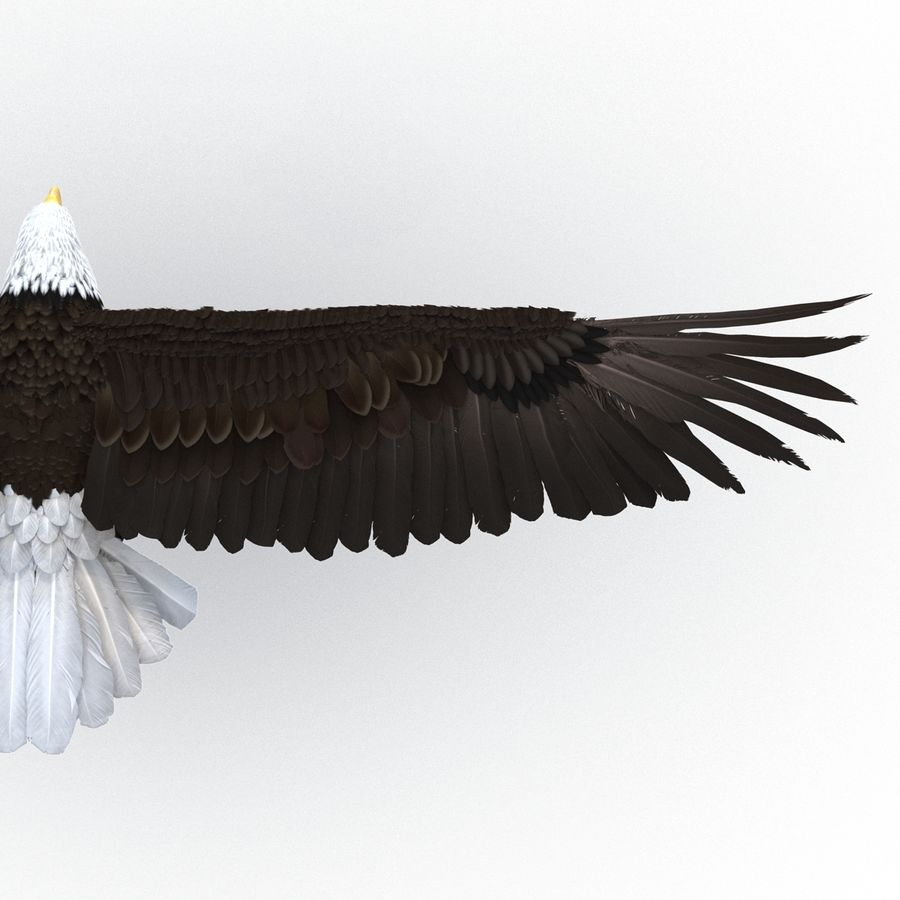 Bald Eagle Pose 3 royalty-free 3d model - Preview no. 16