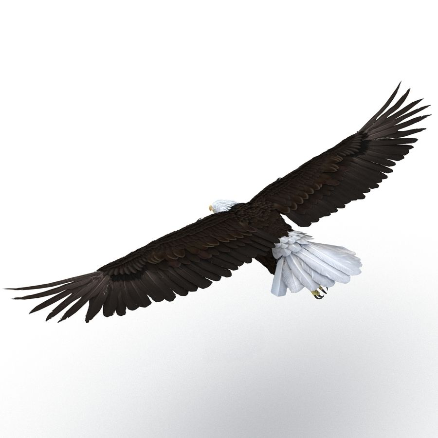 Bald Eagle Pose 3 royalty-free 3d model - Preview no. 5