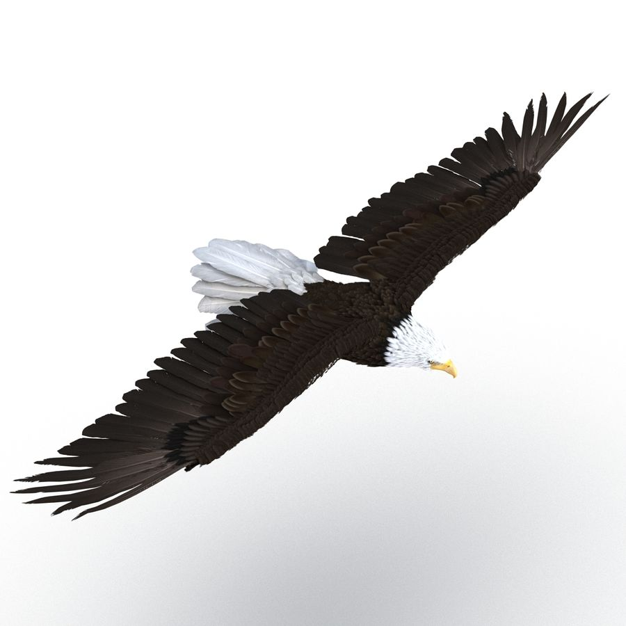 Bald Eagle Pose 3 royalty-free 3d model - Preview no. 3