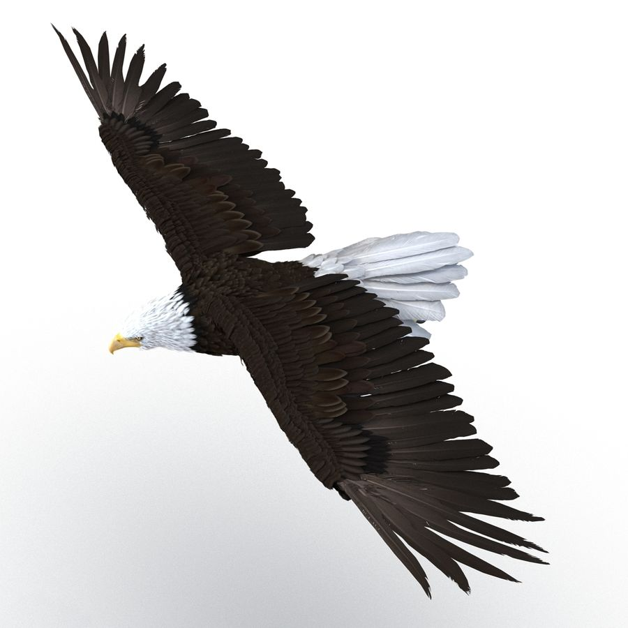 Bald Eagle Pose 3 royalty-free 3d model - Preview no. 4