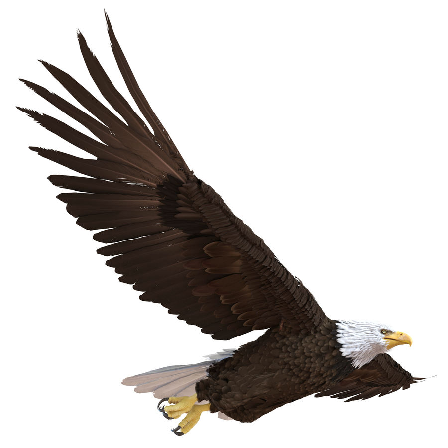 Bald Eagle Pose 3 royalty-free 3d model - Preview no. 2