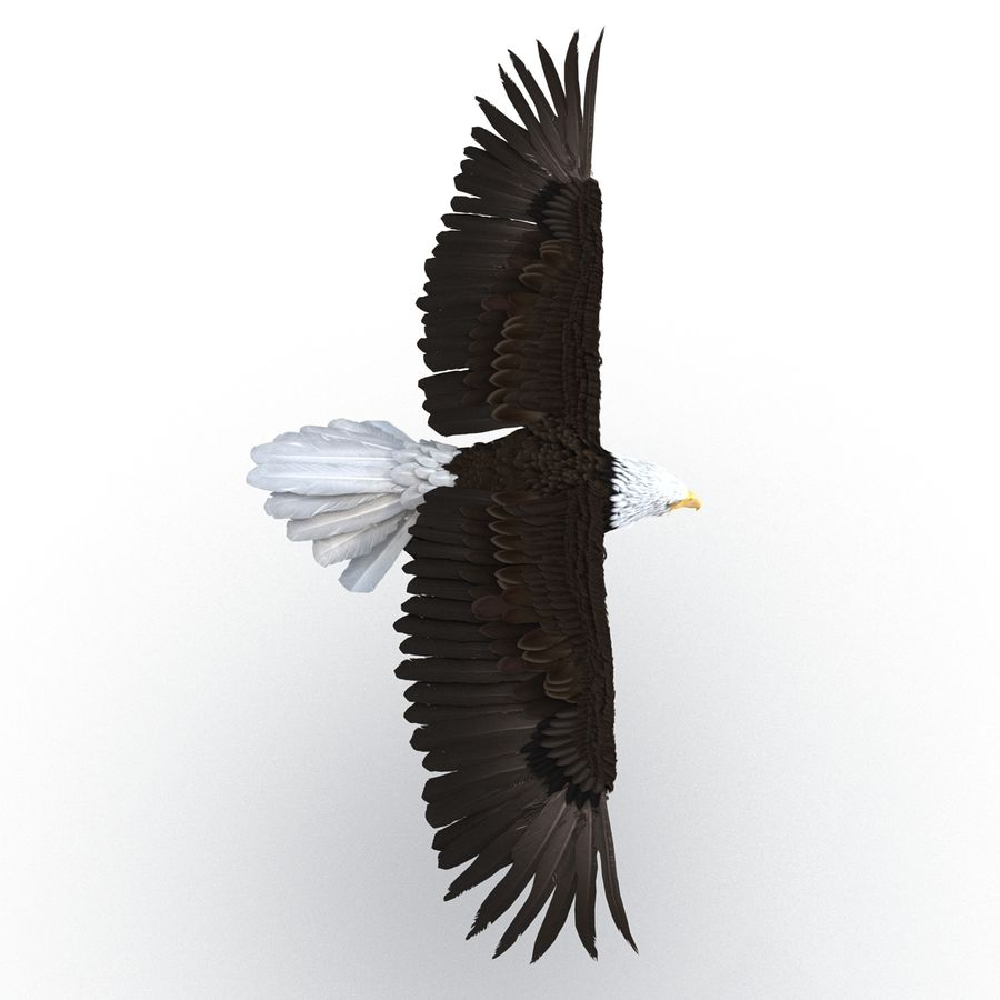 Bald Eagle Pose 3 royalty-free 3d model - Preview no. 6