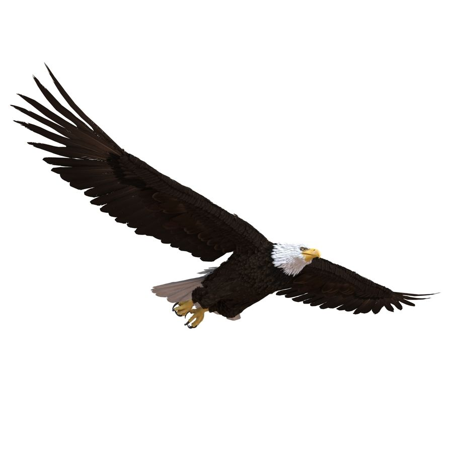 Bald Eagle Pose 3 royalty-free 3d model - Preview no. 7