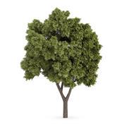 Jawor Klon (Acer pseudoplatanus) 3d model