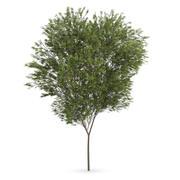Common beech (Fagus sylvatica) 3d model
