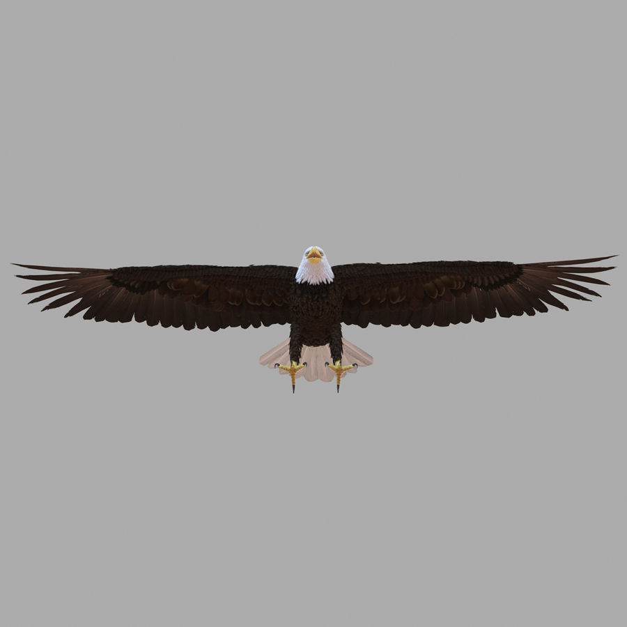 Bald Eagle Rigged royalty-free 3d model - Preview no. 30