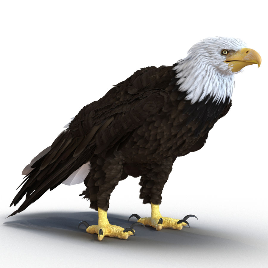 Bald Eagle Rigged royalty-free 3d model - Preview no. 4