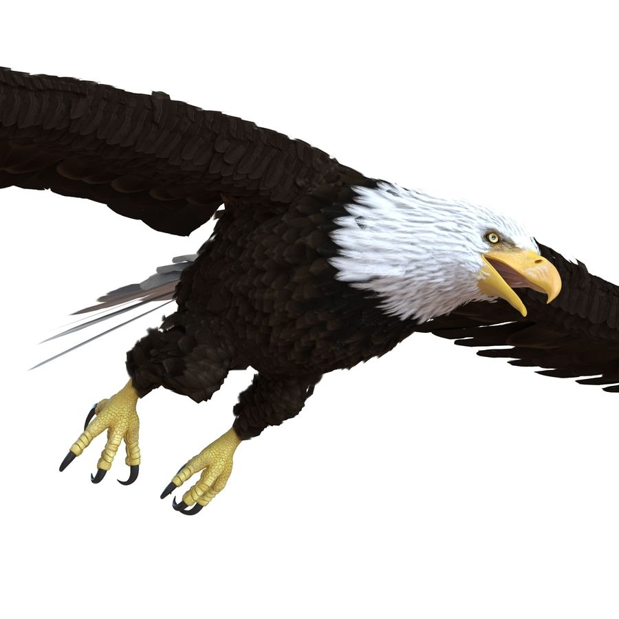 Bald Eagle Rigged royalty-free 3d model - Preview no. 46