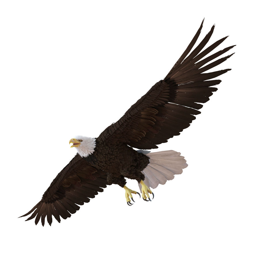 Bald Eagle Rigged royalty-free 3d model - Preview no. 12
