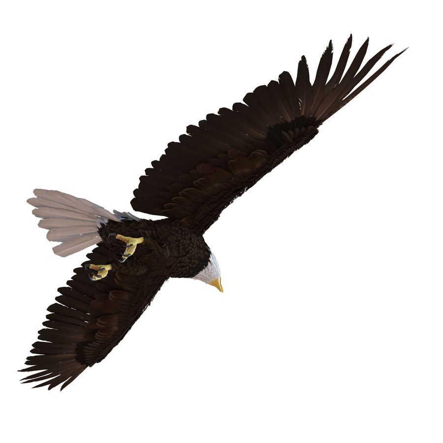 Bald Eagle Rigged royalty-free 3d model - Preview no. 11