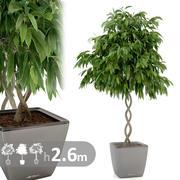 フィカス植物らせん 3d model